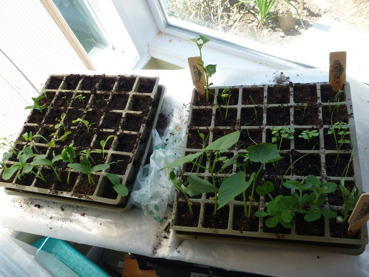 seedlings waiting to be planted